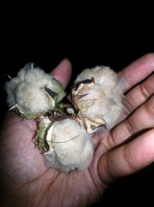 I found 3 more cotton bolls opened today. More brown.