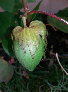 Here is a close up of one of the cotton bolls. It could be white or brown cotton when it opens up. I didn't mark the plants