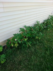 The little cotton patch. There are about 26 small plants