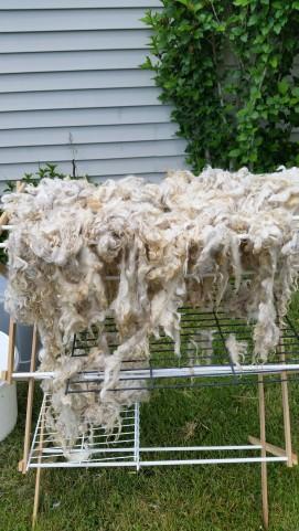 freshly washed Cotswold fleece